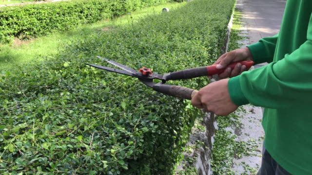 Hands of gardener cutting green dwarf hedge plant in the garden with grass pruning scissor shears video