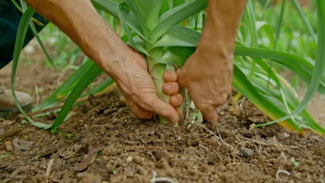 Hands of male gardener picking leeks in the garden