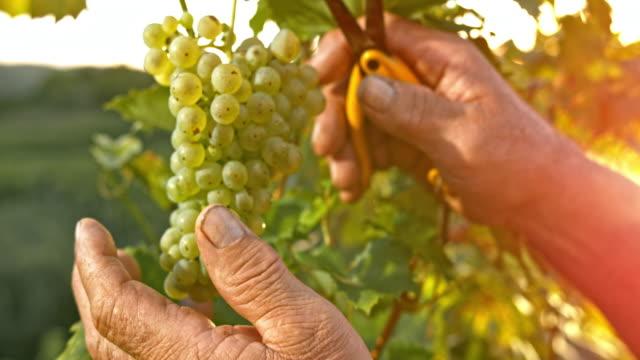 SLO MO Hands of senior man cutting grapes at sunset