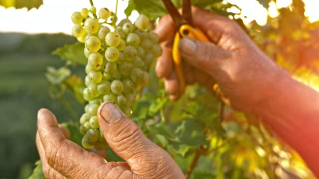 slo mo hands of senior man cutting grapes at sunset - azienda vinivola video stock e b–roll
