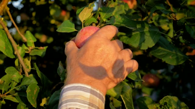 vídeos de stock e filmes b-roll de hands of the old farmer collected the tree ripe apple close up slow motion - picking fruit