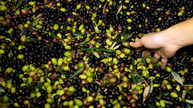 hands of woman taking fresh olives, close up - oliva video stock e b–roll