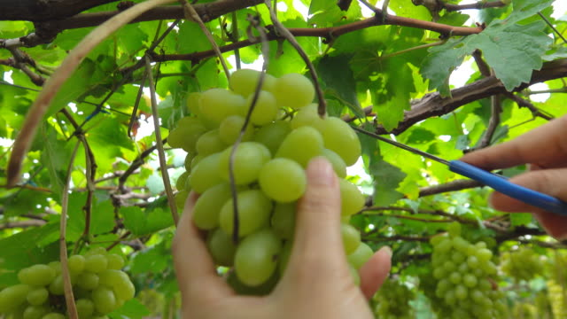Hands of women cutting grapes