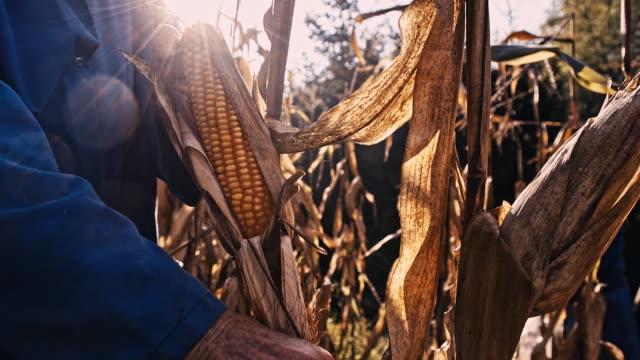 SLO MO Hands Peeling The Ear Of Corn video
