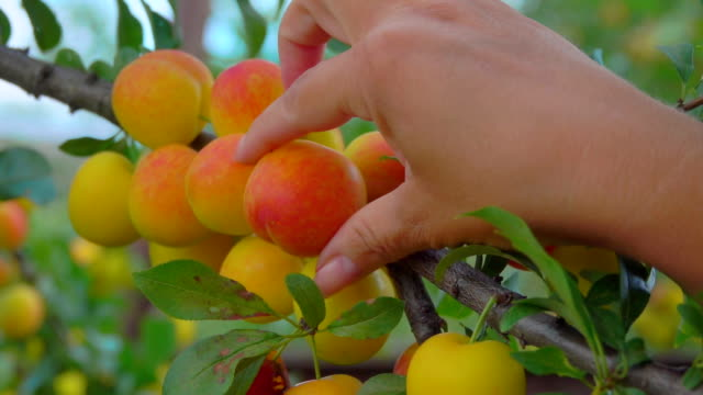 hands pick ripe delicious apricots from apricot tree branches - абрикос стоковые видео и кадры b-roll