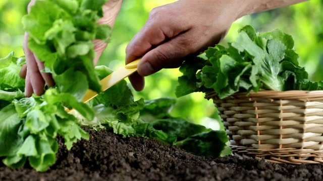 Hands picking lettuce with basket, plant in vegetable garden, close up video