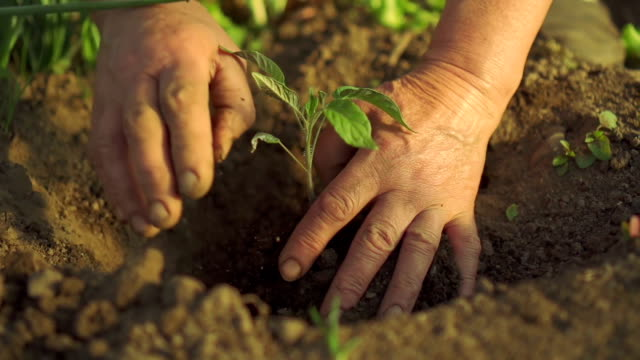 Hands planting green seedling video