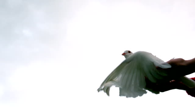 mani rilasciando una colomba - colomba video stock e b–roll