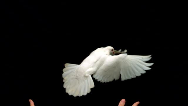 mani rilasciando un bianco colomba della pace su sfondo nero - colomba video stock e b–roll
