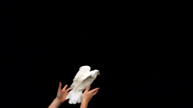 mani rilasciando una colomba bianca su sfondo nero - colomba video stock e b–roll