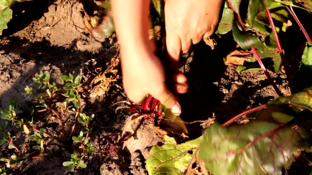 Hands take beet out of land video