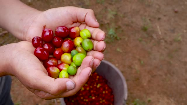 hände mit kaffeekirschen in verschiedenen stadien der maduration, von grün bis voll ausgereift - koffeinmolekül stock-videos und b-roll-filmmaterial