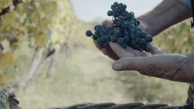 vídeos de stock e filmes b-roll de hands with fresh delicious dark blue grapes - uva shiraz