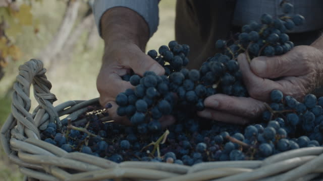 vídeos de stock e filmes b-roll de hands with fresh delicious dark blue grapes - picking fruit