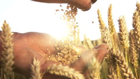 vidéos et rushes de hd super lent dans le missouri: mains avec des grains de blé - graine