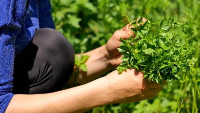 Hands Woman gather green fresh parsley. Petroselinum crispum. Hands Woman gather green fresh parsley. Petroselinum crispum parsley stock videos & royalty-free footage