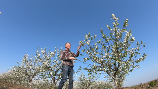 stilig vuxen man bonde inspektera blommande träd i sin frukt träd gård. videoklipp. - endast en medelålders man bildbanksvideor och videomaterial från bakom kulisserna