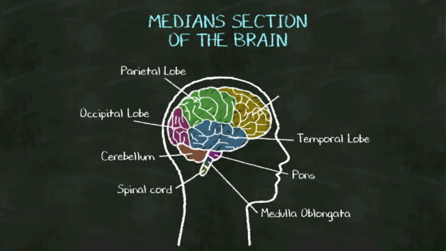 Handwriting Human  'Medians Section of the brain' at chalkboard. video