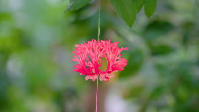 a hanging red flower of the hibiscus schizopetalus - японский фонарь стоковые видео и кадры b-roll