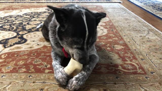 hank büyük bir kemik çiğneme cow köpek-avustralya sığır köpek-texas heeler - coğrafi konum stok videoları ve detay görüntü çekimi
