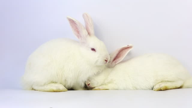 Happiness two white rabbit move slow motion on white background, Slow motion.