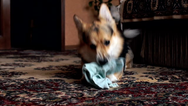A happy and active dog breed Welsh Corgi pembroke is playing at home with his toy. A happy and active dog breed Welsh Corgi pembroke is playing at home with his toy. charming stock videos & royalty-free footage