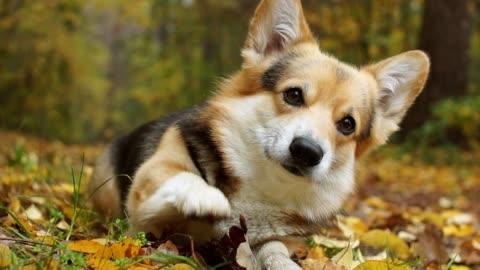 buon autunno! razza di cani welsh corgi pembroke in una passeggiata in una bellissima foresta autunnale. - carino video stock e b–roll