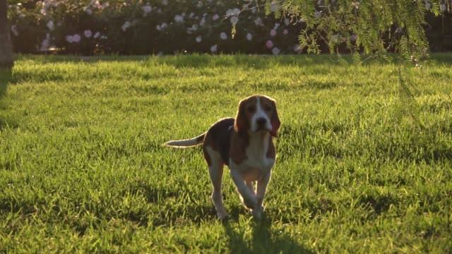 Happy beagle dog in Park Slow motion, running and playing across the grass Happy beagle dog in Park Slow motion. Beagle dog running and playing across the grass sunset backlight summer day. hound stock videos & royalty-free footage