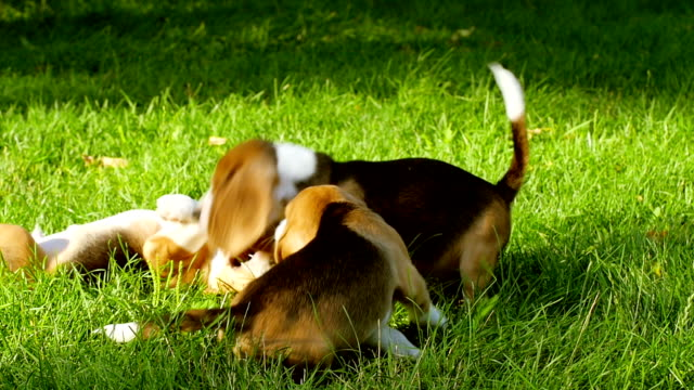 Happy beagle dogs in Park. Slow motion video
