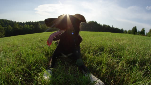LENS FLARE Happy black border collie cools off and looks around the sunny meadow SLOW MOTION, LENS FLARE, PORTRAIT: Happy black border collie cools off and looks around the sunny meadow. Adorable puppy lies in the cool meadow near the forest and obediently waits for its owner. obedience stock videos & royalty-free footage