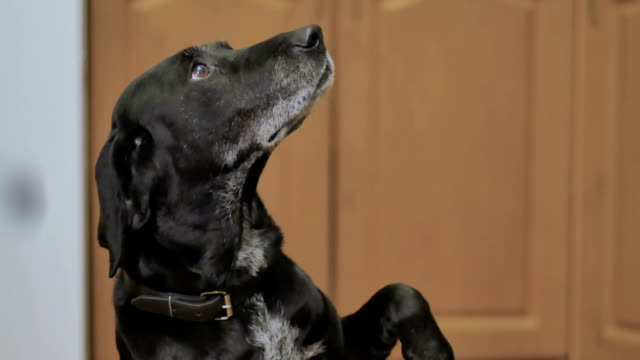 happy black dog is waiting video