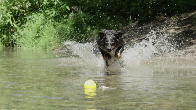 slow motion: happy border colllie jumping in the water to get his rubber ball - border collie video stock e b–roll