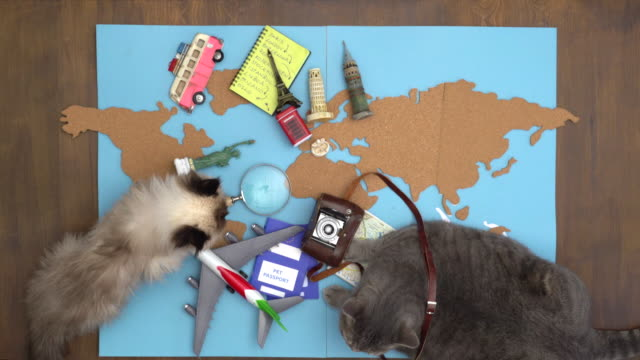 Happy cats making international travel plan on wooden desk video