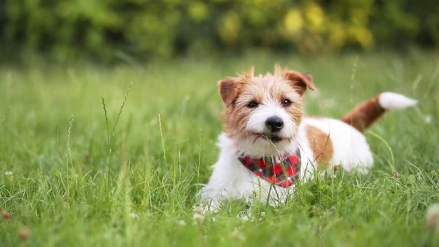 vídeos de stock, filmes e b-roll de feliz fofo brincalhão pequeno cão de estimação cão de estimação balançando o rabo e sorrindo - cauda