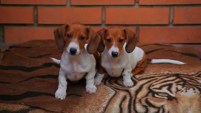 Happy Dachshund puppy hd footage Happy Dachshund puppy hd footage hound stock videos & royalty-free footage