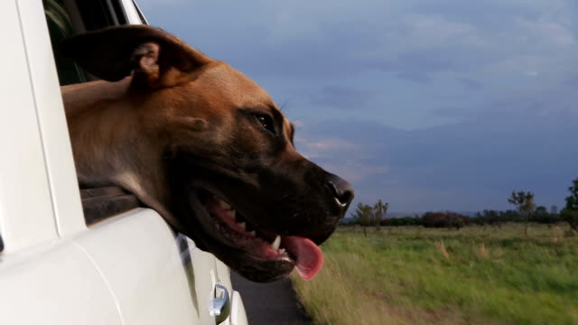 Happy dog enjoying a ride with its head out of car window in slow motion video