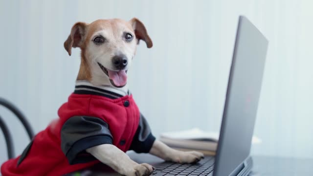 Happy dog in red jumper looking to the camera using computer. - video