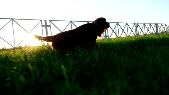 Happy dog Irish setter runs along the grass at sunset in the summer, slow motion Happy dog Irish setter runs along the grass at sunset in the summer, slow motion. irish setter stock videos & royalty-free footage