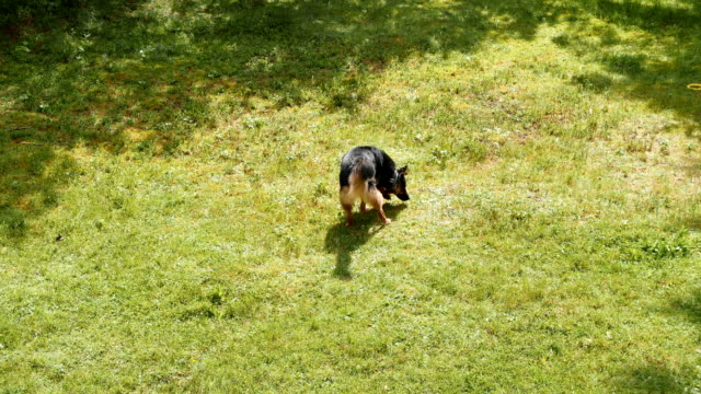 Happy dog looking for, sniffing in the very green grass. The dog felt a wild animal.