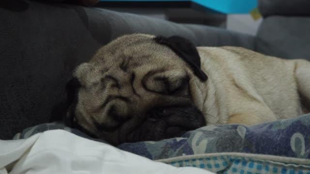 幸せな犬パグは笑顔を繁殖し、寝室に横たわってとても快適でララックス感、健康的な純血種の犬 - 愛玩犬点の映像素材/bロール