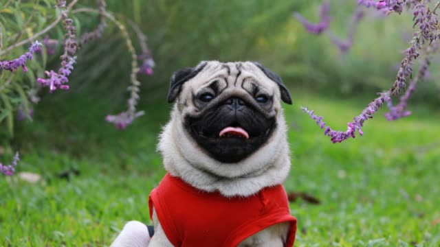 Happy dog pug breed smile with funny face on green grass in garden,Purebred pug dog healthy Concept