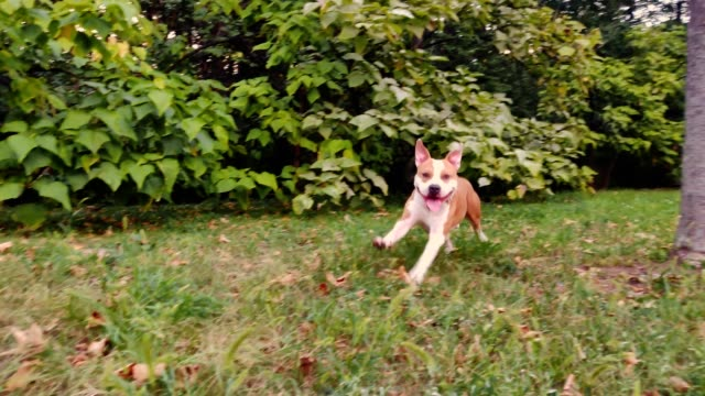 Happy dog running in slow motion Happy american staffordshire terrier dog running in slow motion in the park purebred dog stock videos & royalty-free footage