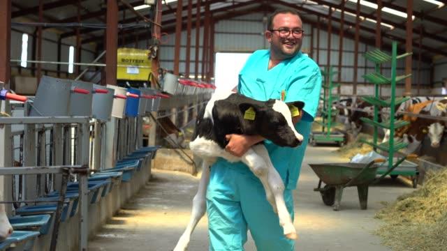 vidéos et rushes de fermier heureux portant le veau nouveau-né - veau