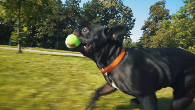 Happy french bulldog running in park. French bulldog enjoying another sunny day in park. He is playing with a ball. catching stock videos & royalty-free footage