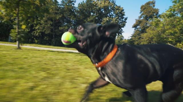 vidéos et rushes de heureux bouledogue français en cours d'exécution dans le parc. - balle ou ballon