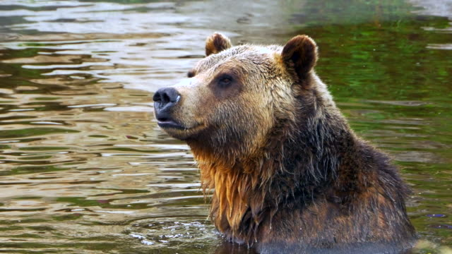 Happy Grizzly Bear Sitting in Pond, Nature Wildlife, Wet Fur