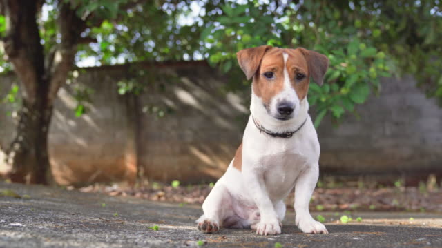 happy joyful and playful jack russell dog relaxing and resting on gress garden at the park outdoors and outside on summer vacation holidays - terrier video stock e b–roll