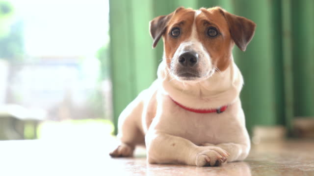 Happy joyful and playful jack russell dog relaxing and resting Happy joyful and playful jack russell dog relaxing and resting jack russell terrier stock videos & royalty-free footage