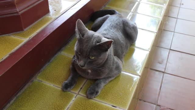 glad lokal thailändsk grå kort hår katt - morrhår bildbanksvideor och videomaterial från bakom kulisserna