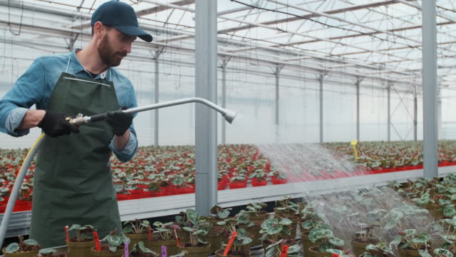 Happy male Gardener Waters Plants and Flowers with a Hosepipe in Sunny Industrial Greenhouse.